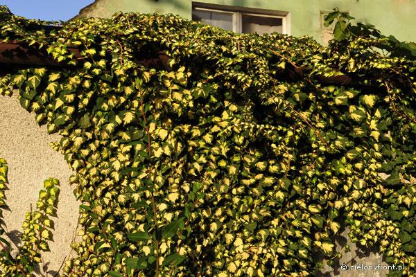 """Hedera helix odmiana Goldheart"""", rośnie wolniej od gatunku i osiąga około połowy jego wielkości. W ostrzejsze zimy może podmarzać."""