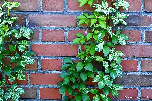 "Parthenocissus quinquefolia ""Star Showers"" - forma pstrolistna."