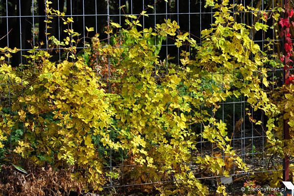 """Odmiana """"Yellow Wall"""" - jesienia liście przebarwiają się na żółto."""