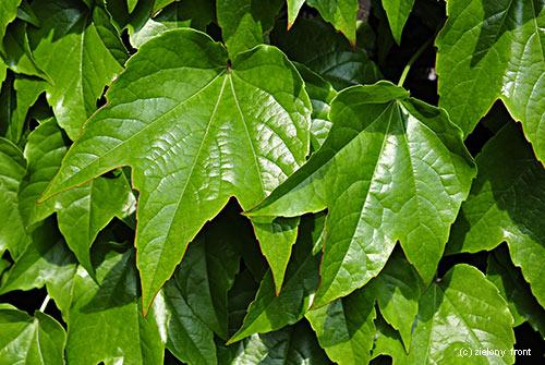 """Parthenocissus tricuspidata """"Veitchii"""""""