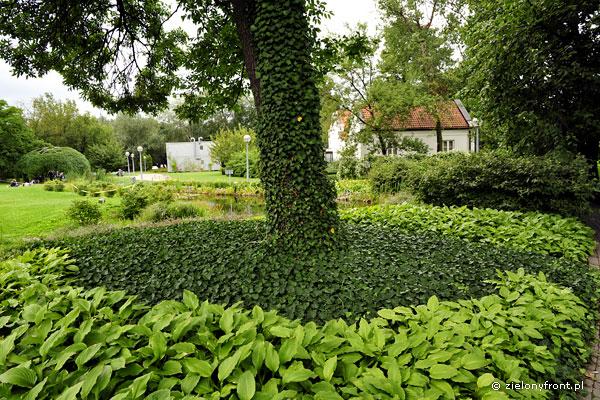 Bluszcz jest równocześnie świetną rośliną okrywową.