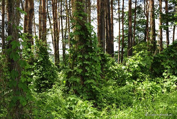 Chmiel zwyczajny w lesie