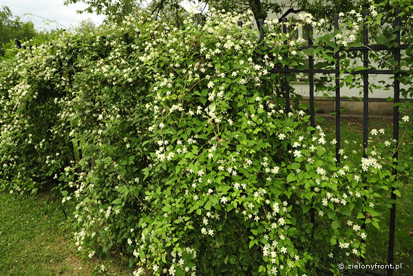 Clematis 'Paul Farges' (Summer Snow)