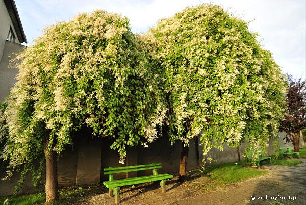 Kwitnąca fallopia całkowicie porastajaca martwe drzewa.
