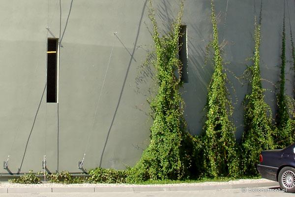 Rdestówka pnaca się po stalowych linach.