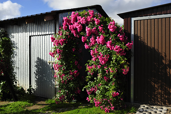 Piękna róża na pergoli z dwóch kolumn i łuku