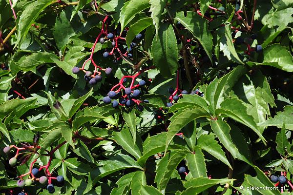 Owoce winobluszcza