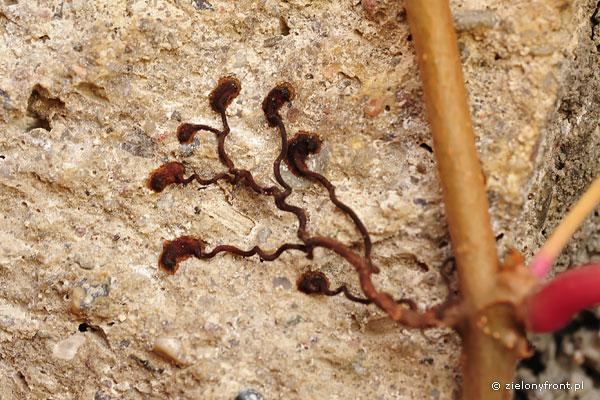 Parthenocissus quinquefolia var. murorum - odmiana o wąsach czepnych wyposażonych w przylgi, dzięki czemu rośnie nie tylko przy podporach ale także samodzielnie pnie się po – nawet gładkich – powierzchniach.