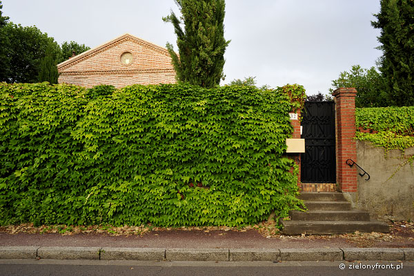Parthenocissus tricuspidata - winobluszcz trójklapowy