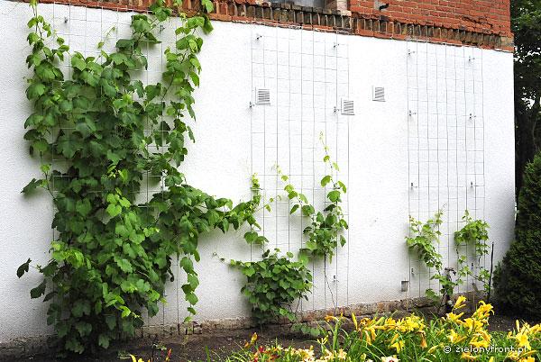 winogrona-kratki